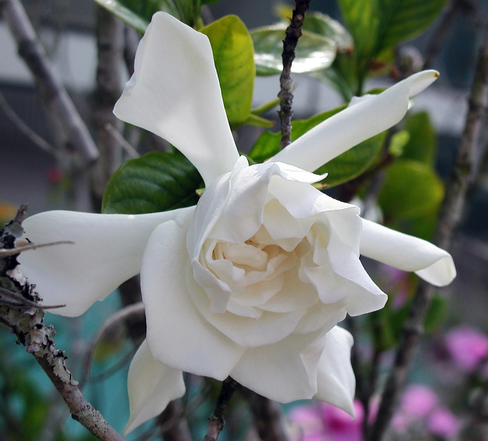 Florida - Gardenia