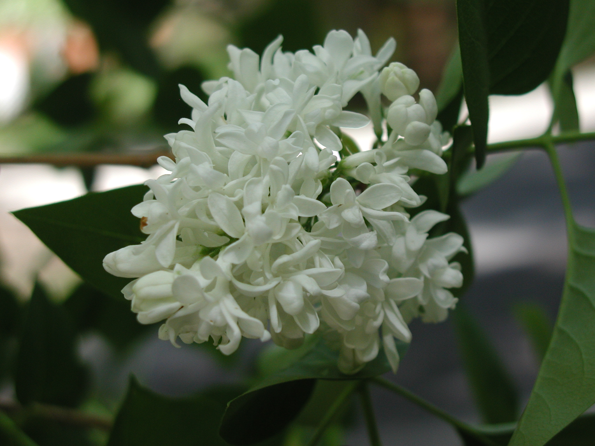 Florida - Persian Lime blossoms
