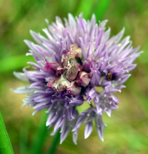 chive seed head
